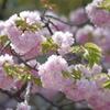 八重桜-四天王寺庚申堂