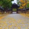 銀杏の黄葉と落葉⑤