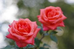立冬薔薇マリーナ