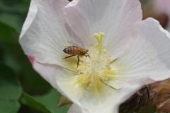 芙蓉に蜜蜂