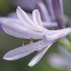 紫君子蘭➂