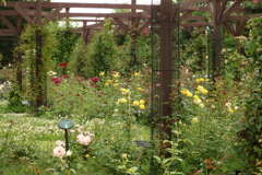 薔薇園の白詰草-長居植物園