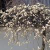 枝垂白梅-四天王寺