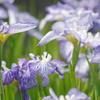 花菖蒲-長居植物園