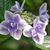 八重額紫陽花-長居植物園