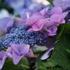 慶沢園の紫陽花②