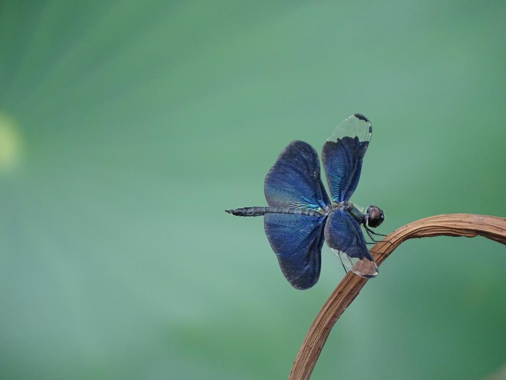 美麗翅蝶蜻蛉