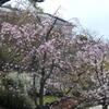 枝垂桜・染井吉野・雪柳