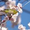 梅に目白-四天王寺