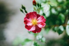 バラ「ラベンダードリーム」