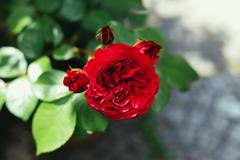 バラ「レッド・レオナルド・ダ・ヴィンチ」