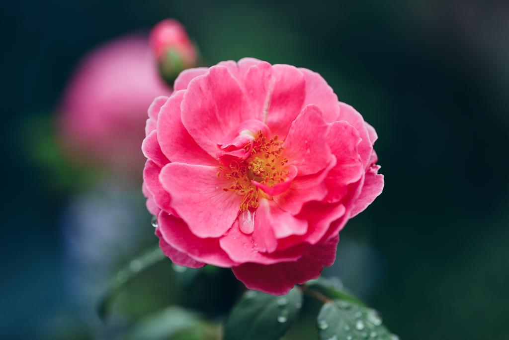 バラ「ジョン・クレア」