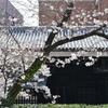 武家屋敷門と桜