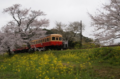 飯給駅桜&菜の花!②