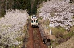 桜ロード!