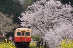 飯給駅桜&菜の花!①