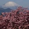 松田山からの河津桜と富士山!