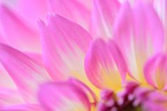 ダリア-ピンク