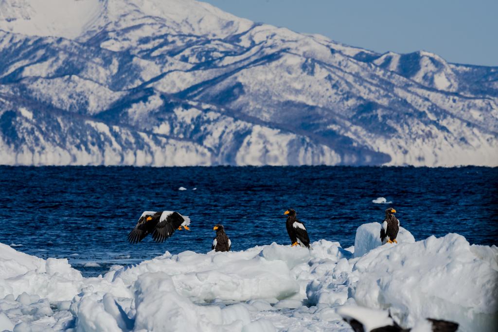 流氷と知床半島とオオワシ