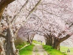 桜のトンネル~♪(*´∀`)♪