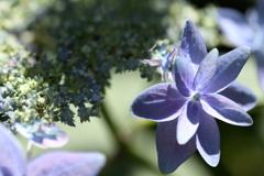 紫陽花のハジマリ