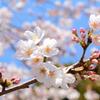 桜2018⑧