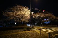 ガミケイの桜2