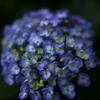 紫陽花が満開の庭で