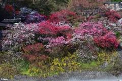 昼神温泉の花桃③