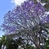 紫の花を咲かせる大樹