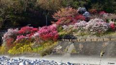 昼神温泉の花桃②