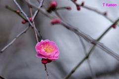 梅の花 一輪 ②