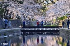 夙川の桜①