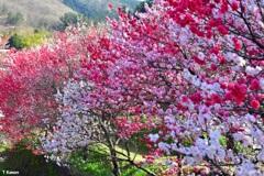 「日本一の花桃の里」阿智村①