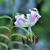 百合の花 ~ ヤマユリ?