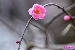 梅の花 一輪 ①