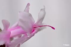 ピンクの花①