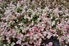 ピンクと白の絨毯