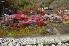 昼神温泉の花桃①