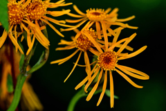 長く反転する舌状花