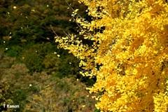 舞う「黄葉」