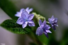 ベランダの七段花