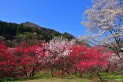 「日本一の花桃の里」阿智村④