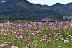 秋桜とジーゼル列車