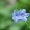 華麗な花々~エゾノハナシノブ