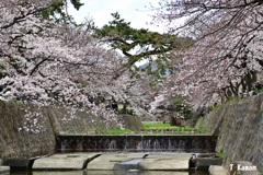 2019桜~西宮/夙川①