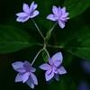 日陰に咲く七段花