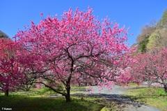 「日本一の花桃の里」阿智村②