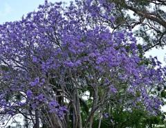 初夏にジャカランタが咲き乱れ