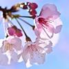 バイオ新種の寒桜